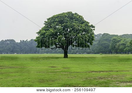 Old Oak Tree On Meadows. A Field On Which Grows One Beautiful Tall Oak Tree, A Summer Landscape In S