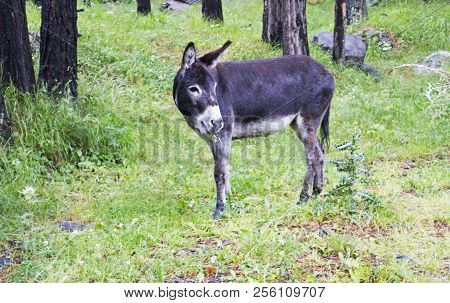 Young Donkey Eating Thistle In Valley Near Elbrus