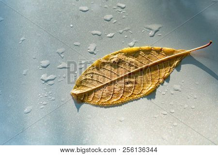 Wet Gold Leaf Autumn. Closeup Of Wet Gold Leaf Autumn On White Background. Yellow Autumn Maple Leave