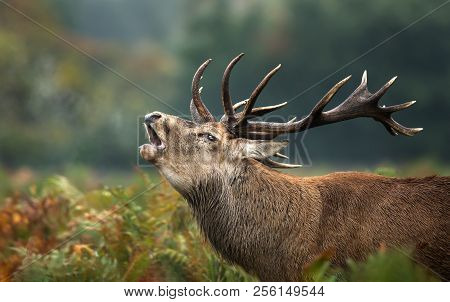 Close Up Of A Red Deer Stag Roaring During Rutting Season In Autumn, Uk.