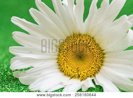 Beautiful Daisy On Green Background. Texture Of The Petals