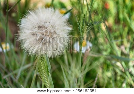 Beautiful Dandelion On Grass Background In Spring