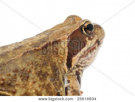 Head of Goggle-Eyed Frog Close-up