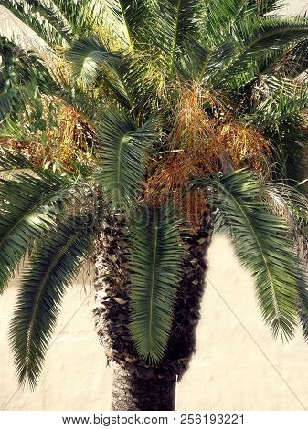 Palm tree with datiles in the park garden