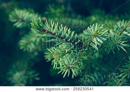 Pine Leaves Background. Natural Background. Christmas Tree Background. Pine Leaves Dark Background D