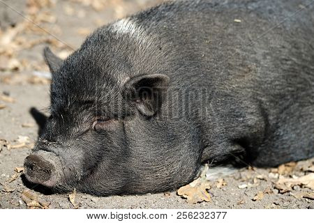 Portrait Of Sleeping Black Pig Breed Vietnamese Pot-bellied. Photography Of Nature And Wildlife.