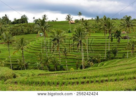 Rice Terraces In Bali. Green Palm Trees In Rice Terraces.