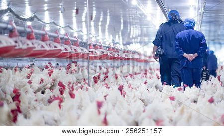 Poultry Farm With Broiler Breeder Chicken. Husbandry, Housing Business For The Purpose Of Farming Me