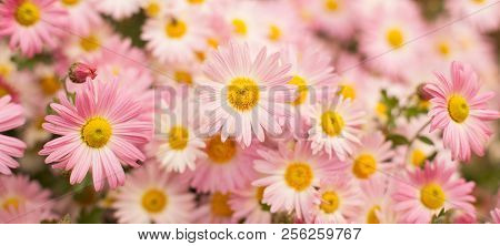 Beautiful Wide Angle Flower Background. Panoramic Floral Wallpaper With Pink Chrysanthemum Flowers C