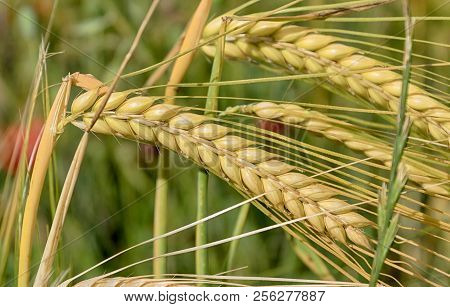 Detail Of Golden Wheat In The Field. Agriculture.