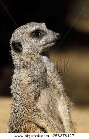 Portrait Close-up Of Sitting Wild African Meerkat (suricata Suricatta). Photography Of Nature And Wi