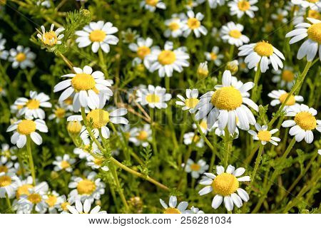 Beautiful Daisies For Backgrounds. Splendor Of Spring