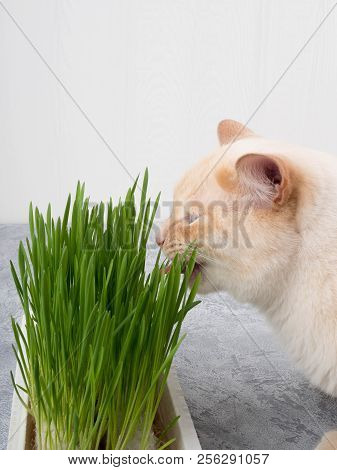 Cat Is Eating Fresh Green Grass. Cat Grass, Pet Grass. Natural Hairball Treatment, White, Red Pet Ca