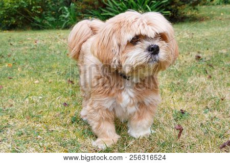 Red Lhasa Apso Dog In A Garden In France