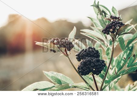 Clusters Fruit Black Elderberry In Garden In Sun Light (sambucus Nigra). Common Names: Elder, Black
