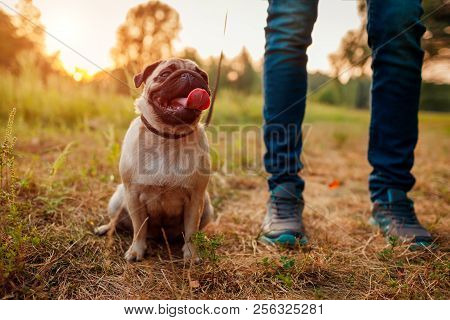 Master Walking Pug Dog In Autumn Forest. Happy Puppy Sitting On Grass By Man's Legs. Dog Resting