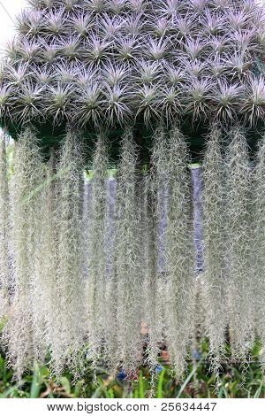 A flowering plant : Spanish moss (Tillandsia usneoides)