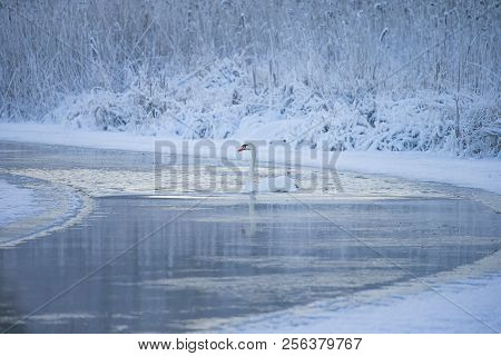 Beautiful White Whooping Swans Swimming In The Cold Winter Lake. The Place Of Wintering Of Swans