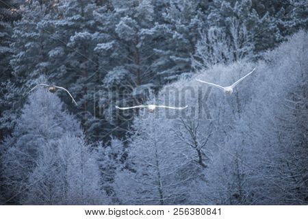 Flying Swan. White Swan. Nature Winter Forest Background.