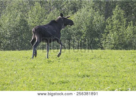 Moose Or Eurasian Elk, Alces Alces In The Dark Forest During Sunny Day. Beautiful Animal In The Natu