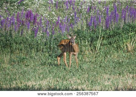 European Roe Deer Capreolus Capreolus On Meadow In Sunny Day Summer Floral Background