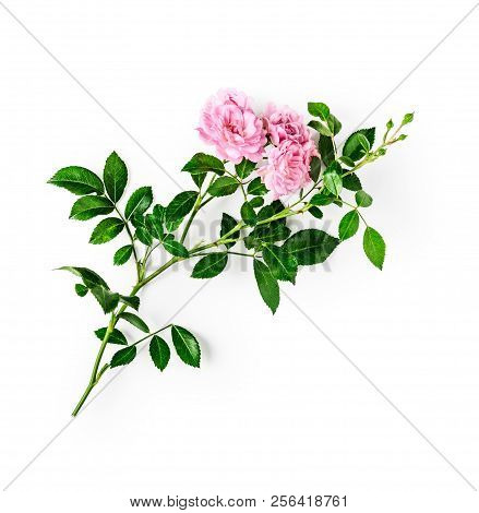 Pink Rose Flower With Stem And Leaves. Small Climbing Roses In Summer Garden. Single Object Isolated