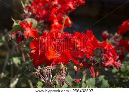 Red Carnation Flower, Close Up, Horizontal Image