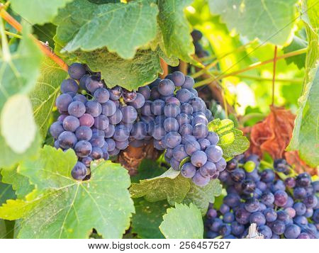Bunches Of Red Grapes Growing In Estremoz, Alentejo Wine Region, Portugal.
