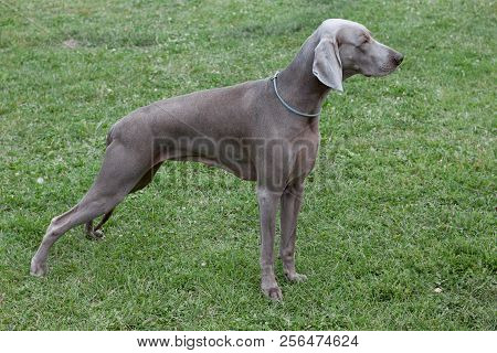Cute short-haired weimaraner vorstehhund is standing on a green meadow. Pet animals. poster