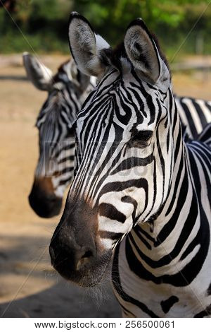 Portrait Head Details Of African Striped Coat Zebras. Photography Of Nature And Wildlife.