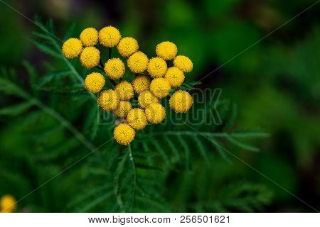 Tiny Yellow Flower Buds Blooming On Green Leaves Close Up