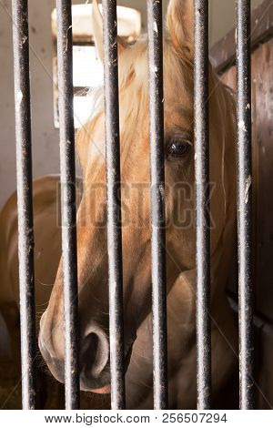 Chestnut horse behind bars, wrongly convicted for race fixing