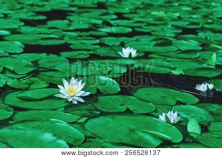 Awesome White Water Lily Blooms In A Pond. White Lotus Which Has Yellow Pollen In Winter. Flower Of