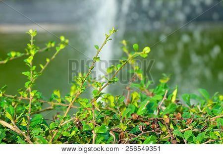 Environment Concepts, Carmona Retusa, Fukien Tea Tree Or Philippine Tea Tree In The Green Garden.