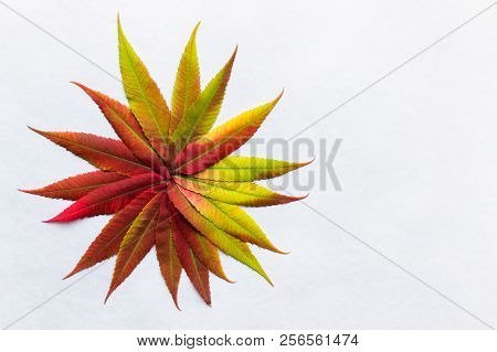 Gradient Colored Leaves Arranged As Flower. Autumn Leaf Coloration. Autumn Colors - Chlorophyll, Ant