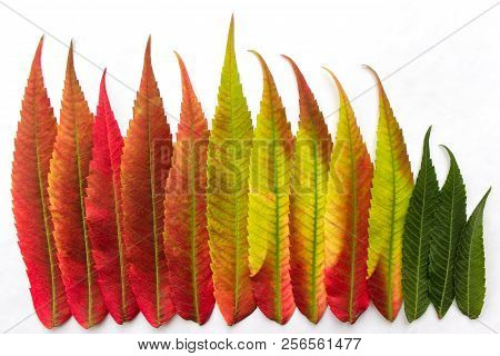 Gradient Colored Leaves Arranged In A Row. Closeup. Autumn Leaf Coloration. Autumn Colors - Chloroph