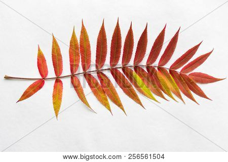 Twig With Gradient Autumn Red Leaves. Autumn Leaf Coloration. Autumn Colors - Chlorophyll, Anthocyan