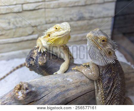 Beautiful iguanas in the terrarium close-up of a reptile poster