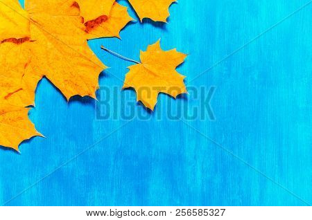 Fall Background. Seasonal Fall Maple Leaves On The Bright Blue Background. Fall Composition With Fre