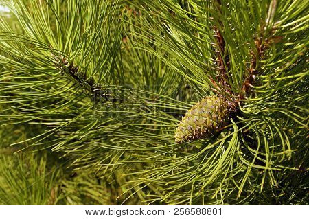Pinus , The Austrian Pine Or Black Pine, Is A Species Of Pine, Occurring Across Southern Mediterrane