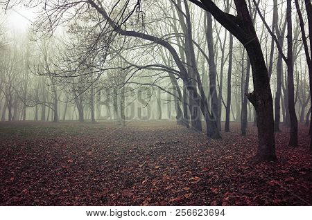 Fall mysterious landscape - foggy fall forest with bare fall trees and fallen red fall leaves on the ground. Cloudy fall landscape view, fall forest trees with dry fall leaves