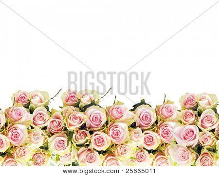 pink roses border