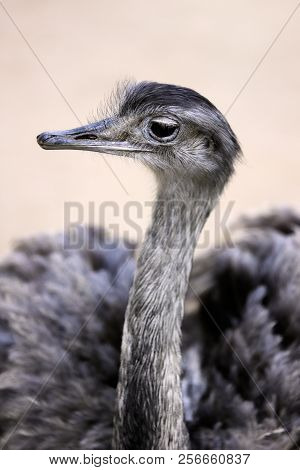 Portrait Of Female Grey Greater Rhea (rhea Americana). Photography Of Nature And Wildlife.