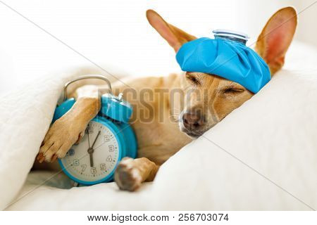 Chihuahua Dog In Bed Resting Or Sleeping , With Alarm Clock  Feeling Sick And Ill With A Hangover Fr