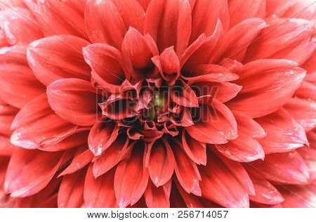 Close-up Of A Red  Dahlia-flower In The Summertime, View To A Beautiful Blooming Purple Dahlia Flowe