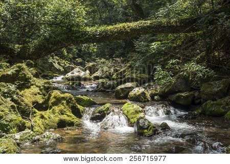 Ravine Flowing Brook Beside Mossy Rock Under Fallen Tree And Forest In Kagoshima