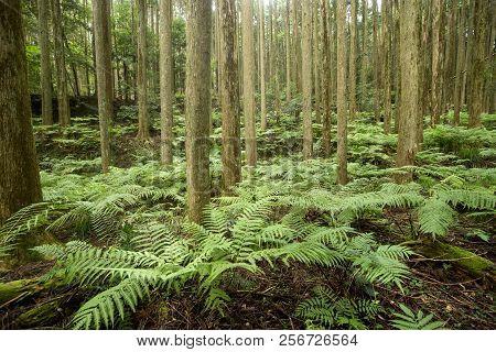Green Ferns Community Under Conifer Forest In Kagoshima
