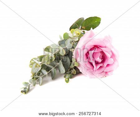 Pink Rose Flower And Green Leaves On White Background Isolated