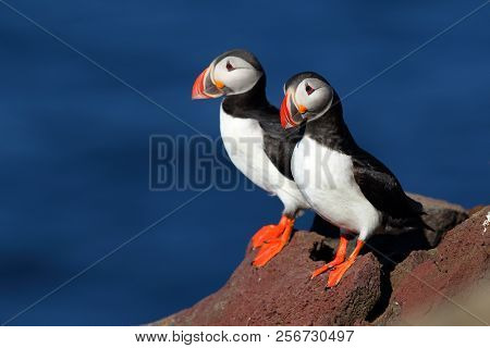 Two Beautiful Puffins On An Iceland Cliff