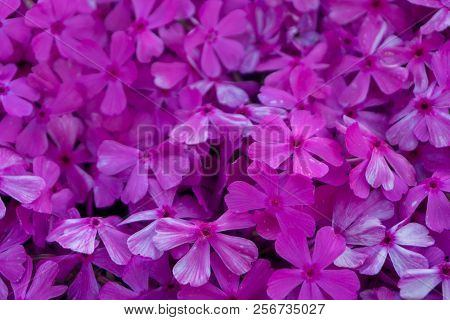 Shibazakura A Perennial Moss ,often Called Moss Phlox Or Pink Moss At Hwangmaesan County Park In Hap